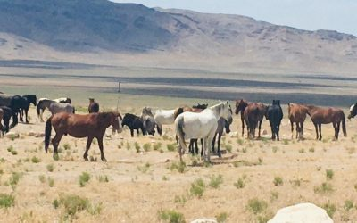 A Message from the Onaqui Wild Horses on July 13, 2021: The Day of the Roundup Decision